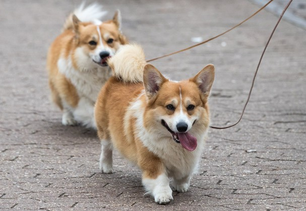 Corgis (Foto: Getty Images)