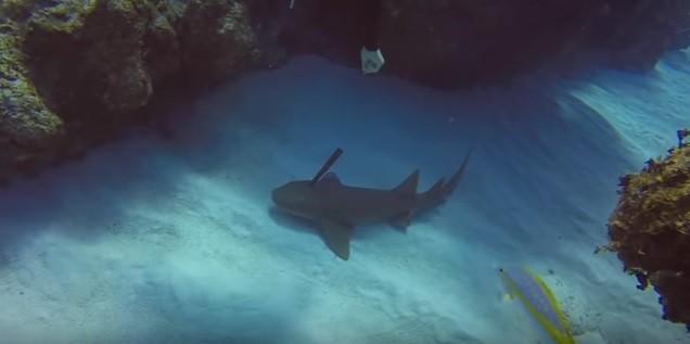 O tubarão com a faca cravada na cabeça