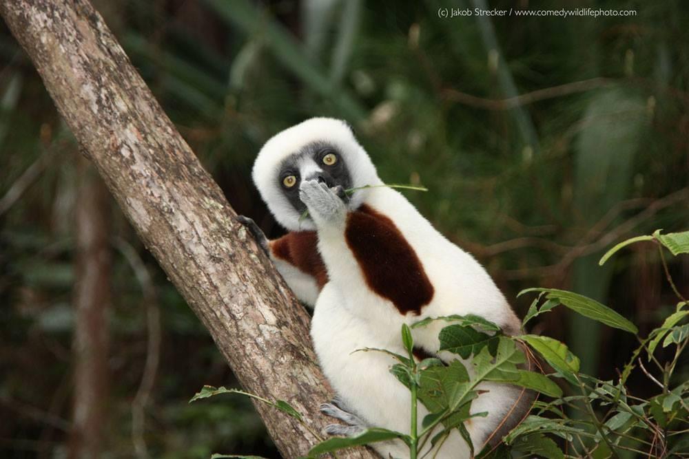 Um sifaka perplexo (Foto: Jakob Strecker / Comedy Wildlife Photography Awards )