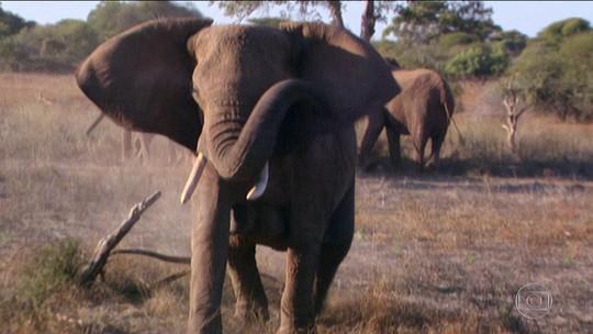 Você Só Tem Uma Chance: como se salvar de uma mãe elefanta furiosa?