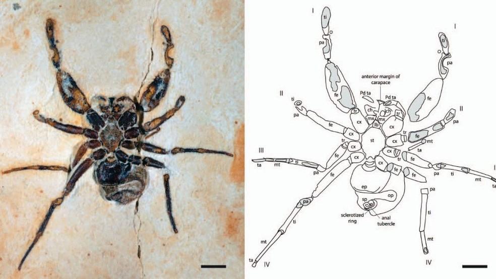Espécie de aranha que viveu na terra a 122 milhões de anos pode ter saído do Ceará de forma irregular — Foto: TV Verdes Mares/Reprodução