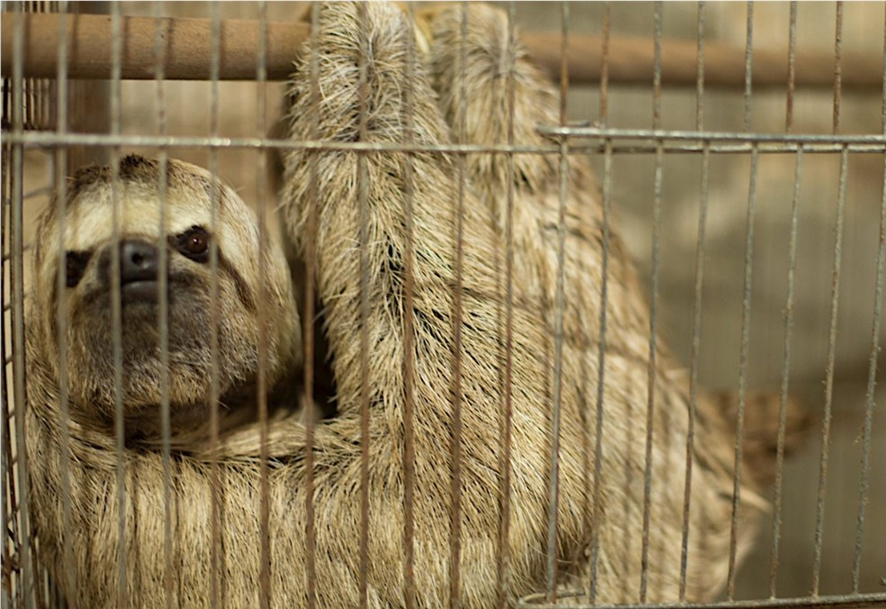 Quase todas as espécies da fauna brasileira são traficados como animais de companhia — Foto: Divulgação/Renctas