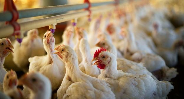 Valorização do frango atinge ultrapassa 31% em 2021, informa Cepea