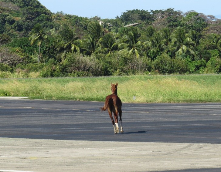 Cavalo invade a pista do Aeroporto de Fernando de Noronha