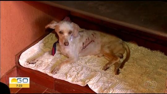 Autônomo resgata cachorro baleado em rua e procura alguém que possa adotá-lo, em Itumbiara