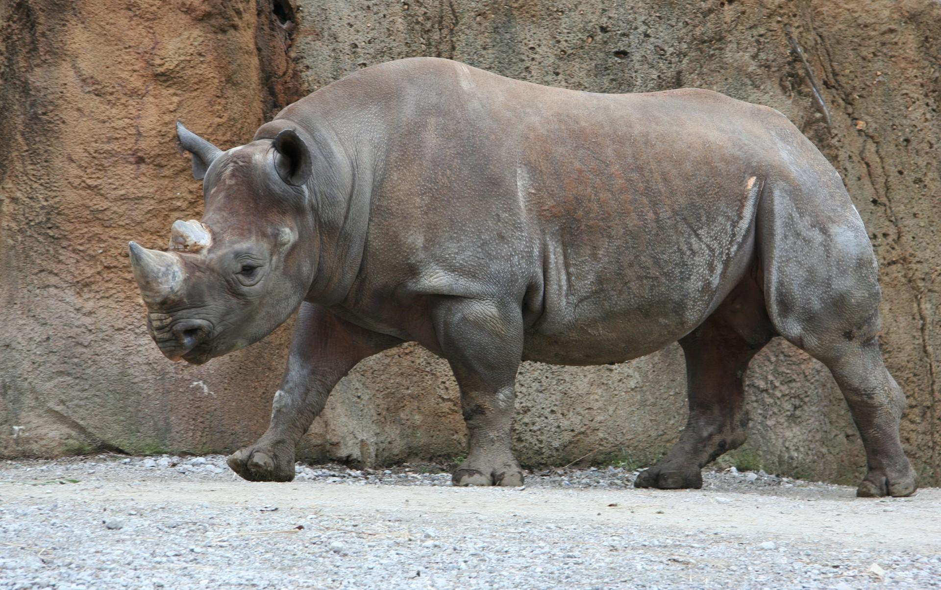 Há somente cerca de 5 mil rinocerontes negros no mundo (Foto: Wikimedia Commons)