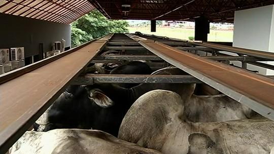 Carregamentos com 100 cabeças de gado e notas fiscais falsas são apreendidos em Itumbiara, GO