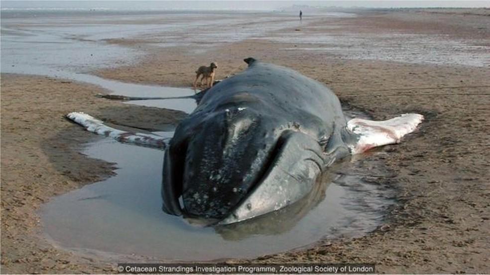 Todos os anos, 600 botos, golfinhos e baleias aparecem mortos no litoral do Reino Unido (Foto: ZSL)