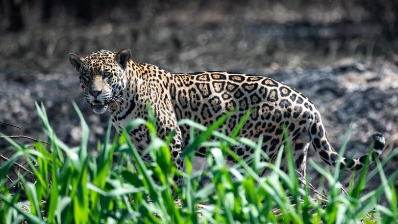 onça-pintada pantanal (Foto: (Foto: José Medeiros/Ed.Globo))