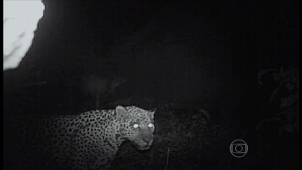 Onça foi filmada chegando em casa à noite — Foto: TVCA/Reprodução