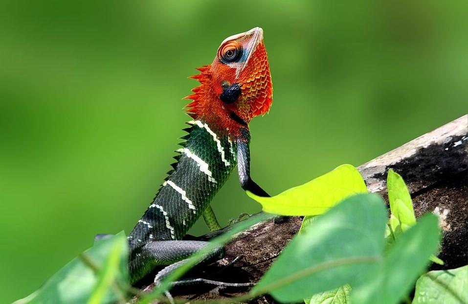 A fotografia de SS Suresh mostra as cores vibrantes de um lagarto verde e vermelho da espécie Calotes calotes (Foto: BMC Ecology/SS Suresh)