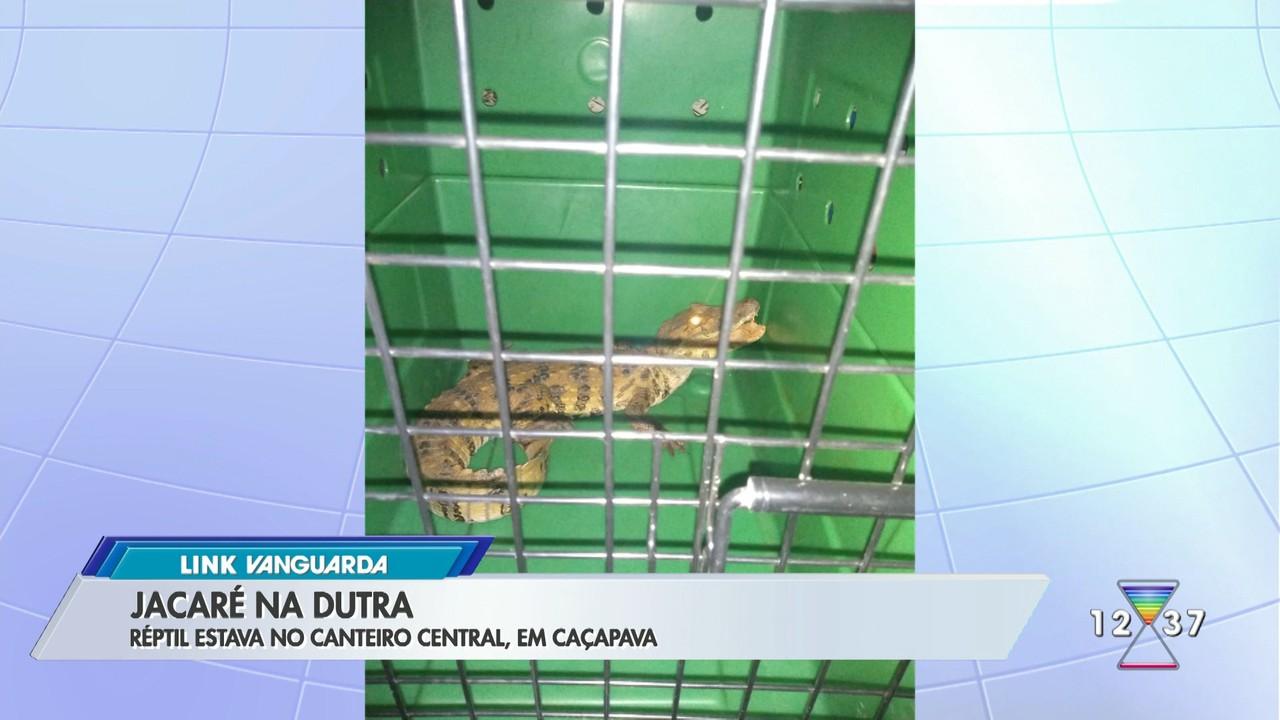 Jacaré é capturado no canteiro central da Dutra em Caçapava