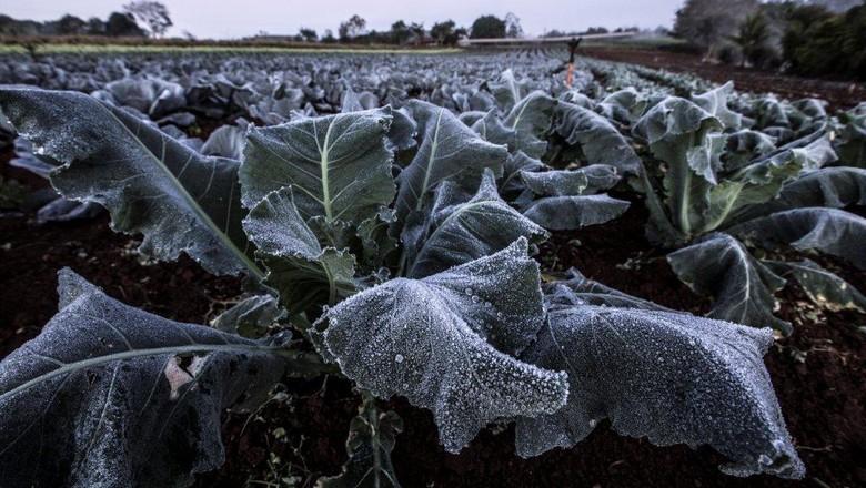 geada-frio-plantacao-clima-tempo-temperatura-geadas (Foto:  Sergio Ranalli)