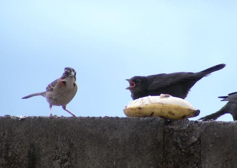 Chupim: ave parasita conta com a ajuda das mães adotivas da natureza