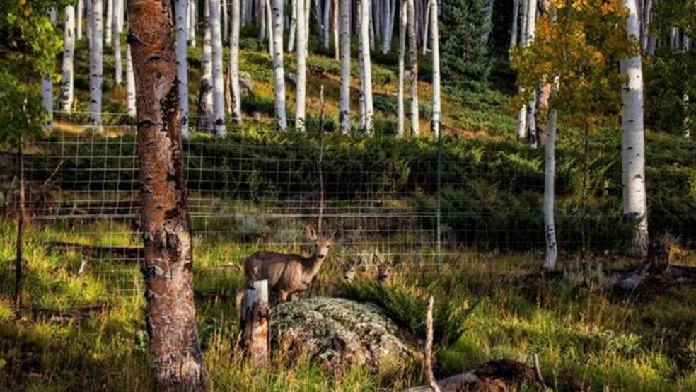 A presença de veados, cervos e vacas tem ajudado a diminuir o bosque Pando — Foto: Lance Oditt/BBC