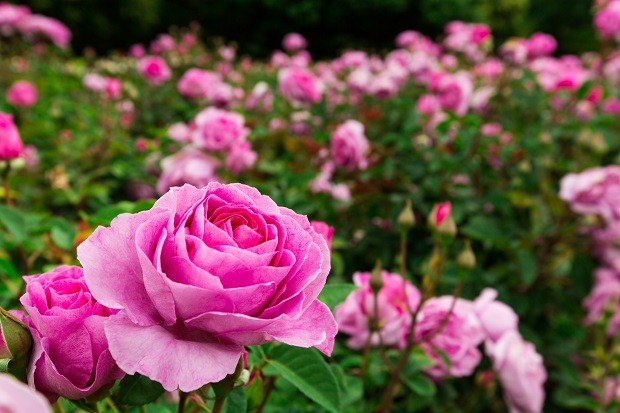 pink roses garden (Foto: Getty Images/iStockphoto)