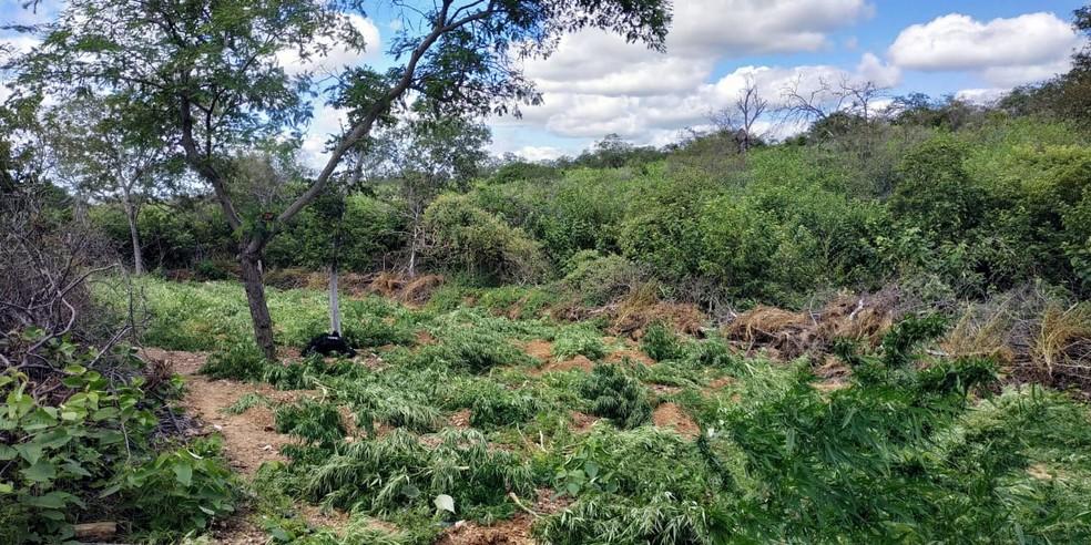 Maconha estava sendo cultivada em Santa Maria da Boa Vista — Foto: Divulgação / PM