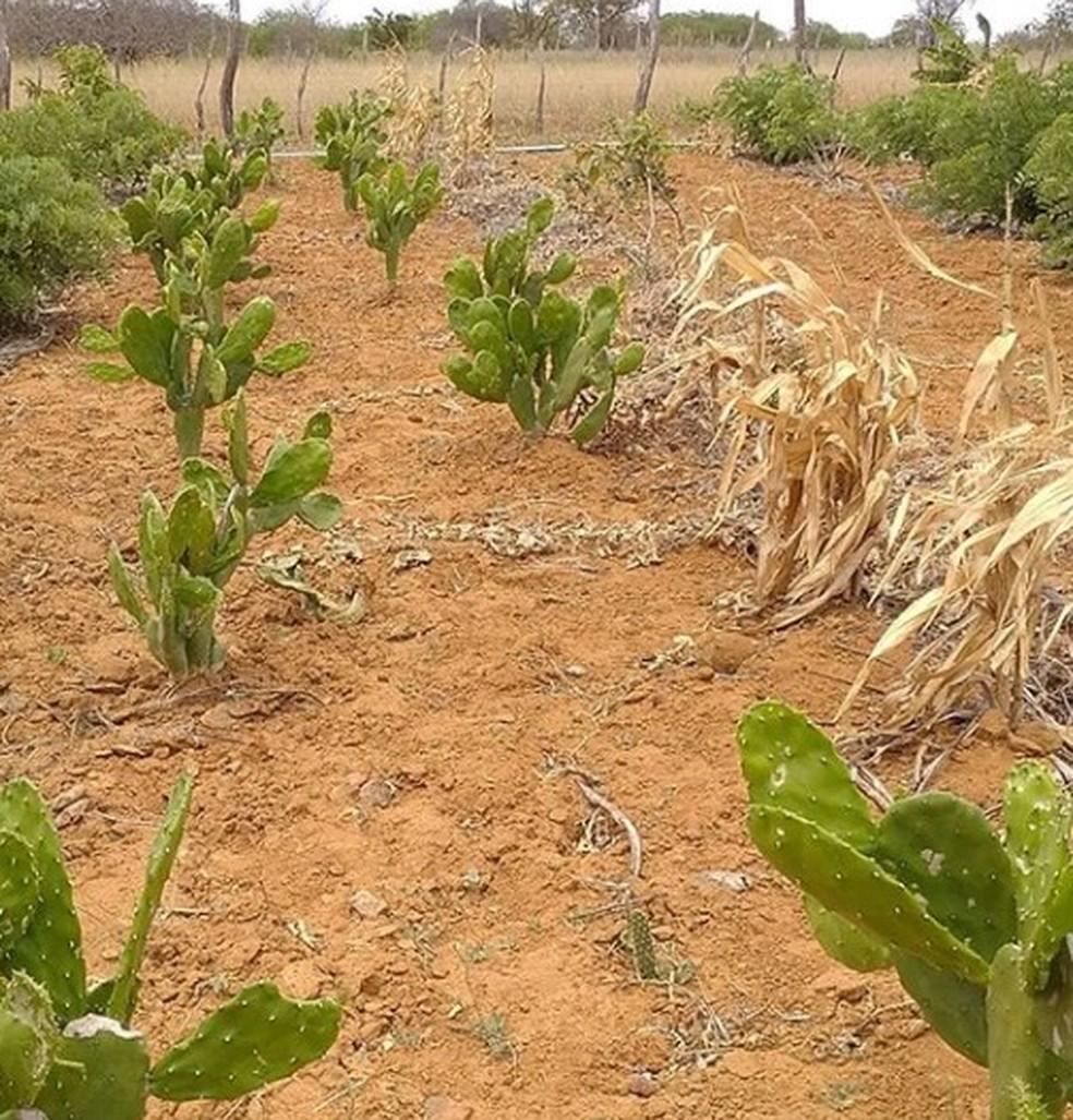 Área destinada ao projeto Agrocaatinga da Coopercuc — Foto: Reprodução/@ater_coopercuc