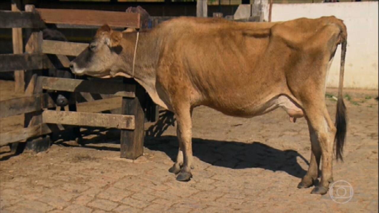 Por que vaca não engorda, mesmo se alimentando bem?