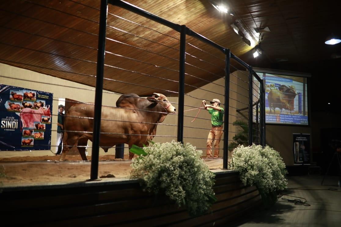 Exposição durante a Expozebu (Foto: Divulgação/ ABCZ)