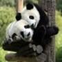 Proteção de Tela: Panda Bears