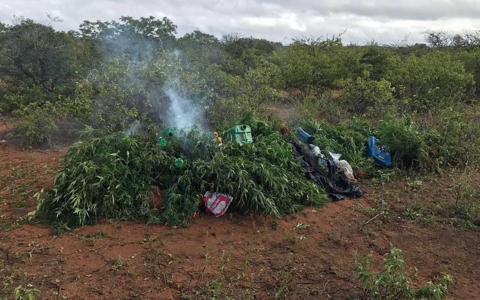 Maconha apreendida foi incinerada pela polícia, no local da plantação (Foto:  Divulgação/ SSP)