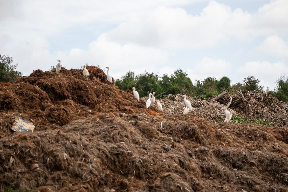 Resíduos de poda de árvores na usina de tratamento de lixo de Fernando de Noronha — Foto: Fábio Tito/G1