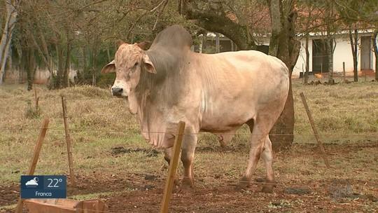 DNA de touro abatido ajuda polícia a identificar suspeito de furtar carne em Barrinha, SP