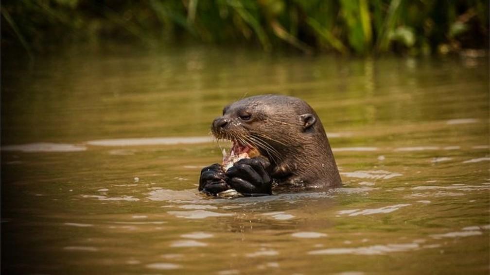 Ariranha se alimenta em rio — Foto: Frico Guimarães/Documenta Pantanal/BBC