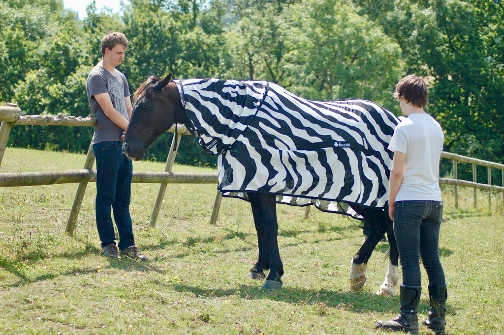 Cavalo com capa listrada como uma zebra para estudo científico (Foto: CreditSchool of Biological Sciences/University of Bristol)