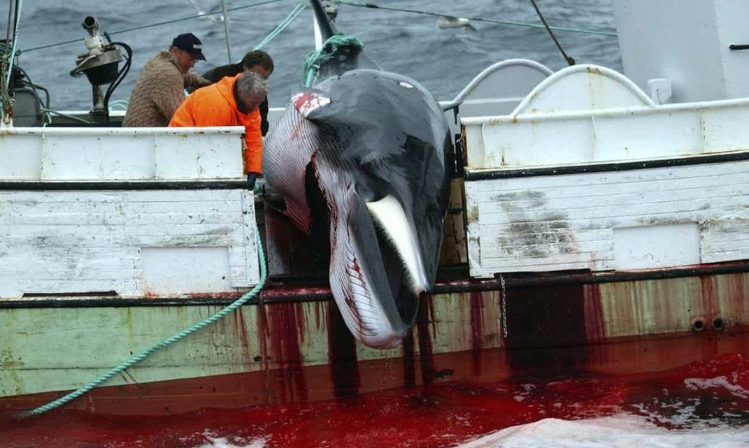 Baleia-comum morta na Islândia. (Foto: IFAW)