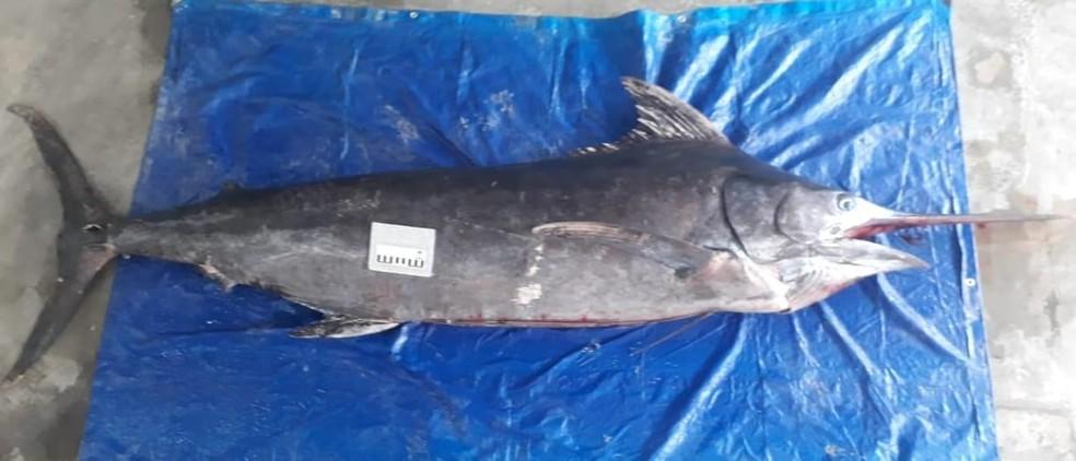 Agulhão-negro de mais de 200 kg foi encontrado em praia de Itanhaém, SP — Foto: Juarez Cabral/Instituto Biopesca