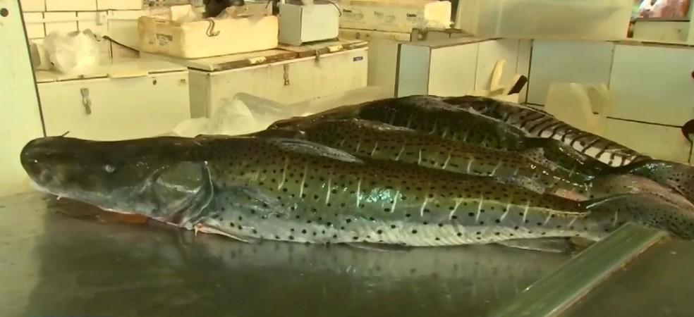 Os peixes mais procurados são o pintado, cachara, o pacu e a piraputanga — Foto: TVCA/Reprodução