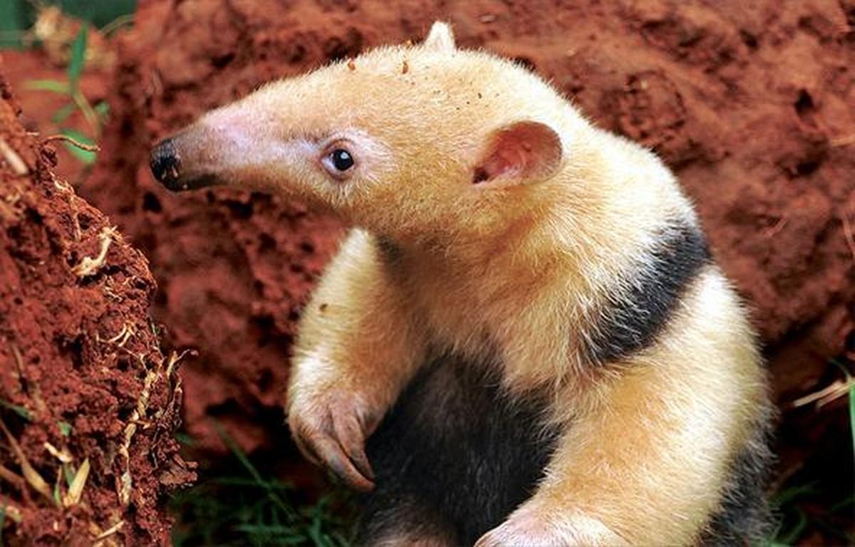 Dia mundial do Tamanduá incentiva a proteção das espécies