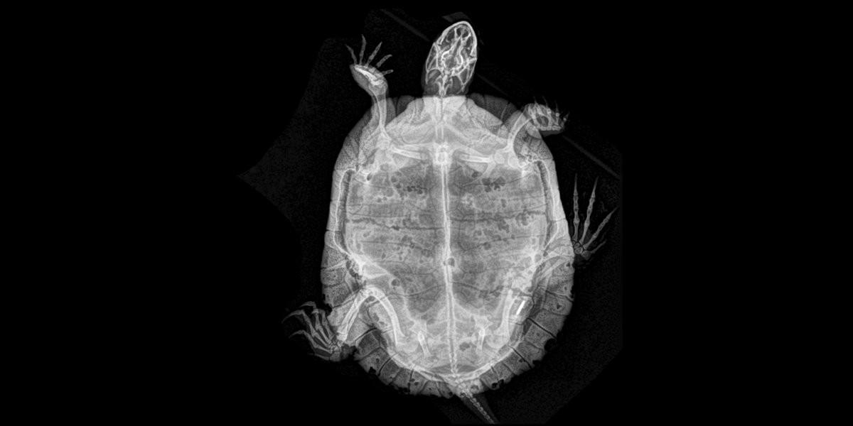 Tartaruga (Foto: Oregon Zoo/Reprodução)