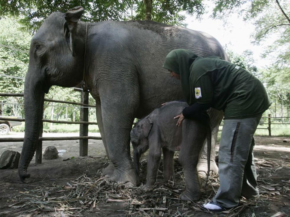 Os elefantes de Sumatra são a única espécie de elefantes no mundo listada como criticamente ameaçada de extinção — Foto: Junaidi Hanafiah/Reuters