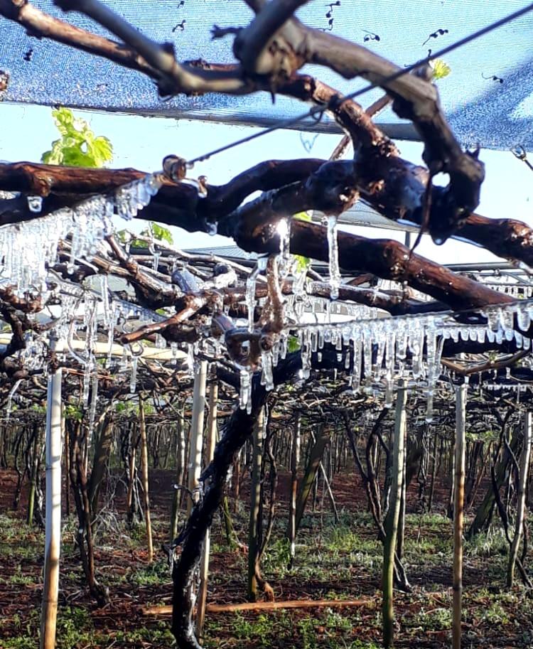 Estalactites de gelo se formam em parreiral em Marialva; FOTOS E VÍDEO