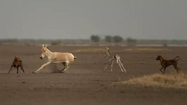 Estudo revelou que cães estão envolvidos na extinção de ao menos 11 espécies (Foto: KALYAN VARMA/BBC)