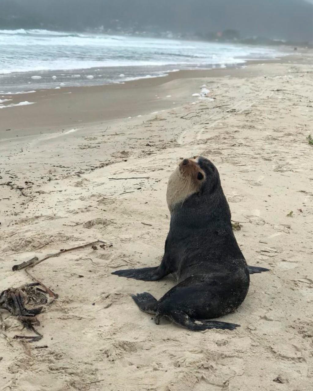 Vídeo: Lobo-marinho-subantártico é encontrado 'descansando' em praia de Florianópolis