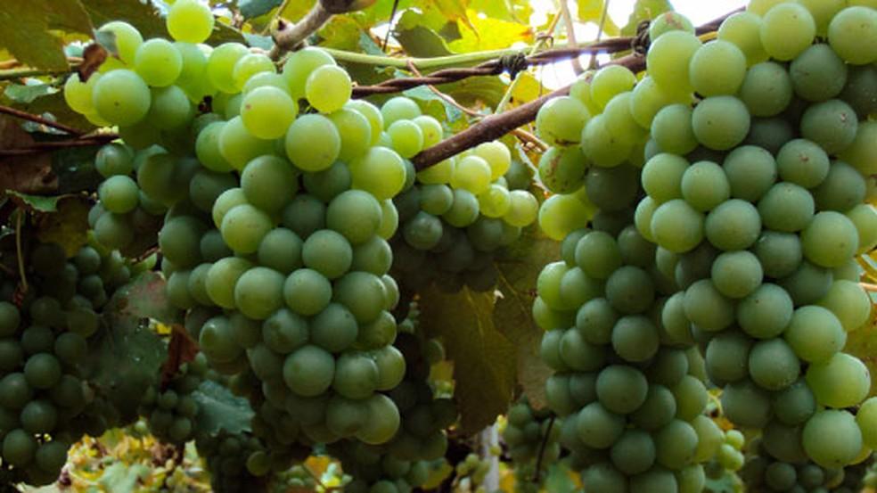 Produção de uva em Bituruna — Foto: Prefeitura de Bituruna/Divulgação