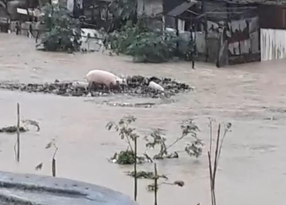 Porcos são levados por correnteza de rio e jacaré é capturado durante chuva no Grande Recife