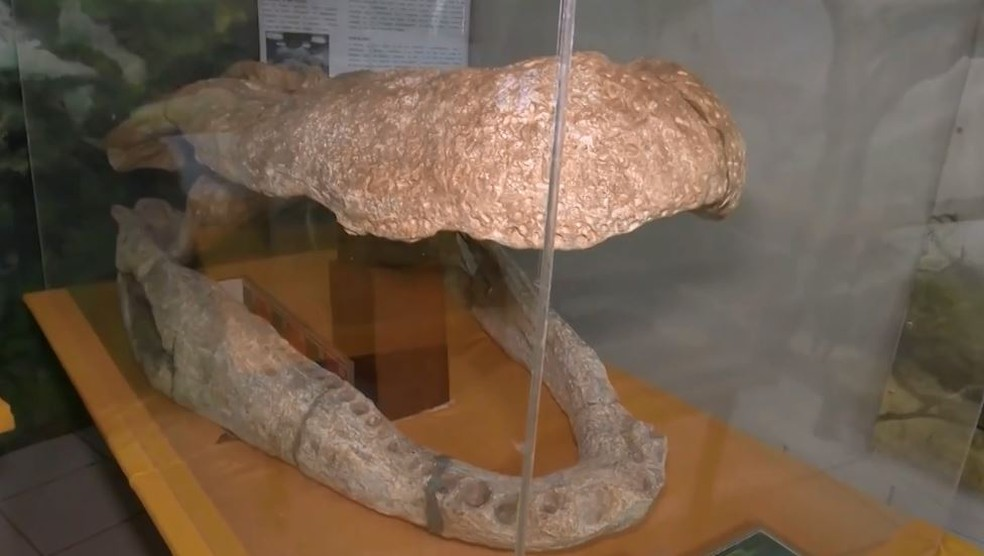 Crânio de um Purussauro – um réptil pré-histórico – está em exposição em laboratório (Foto: Reprodução/Rede Amazônica Acre)