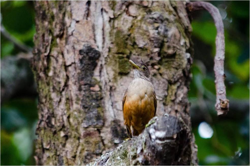 Sabiá-laranjeira é ave símbolo do Brasil (Foto: Alexandre Carvalho/VC no TG)