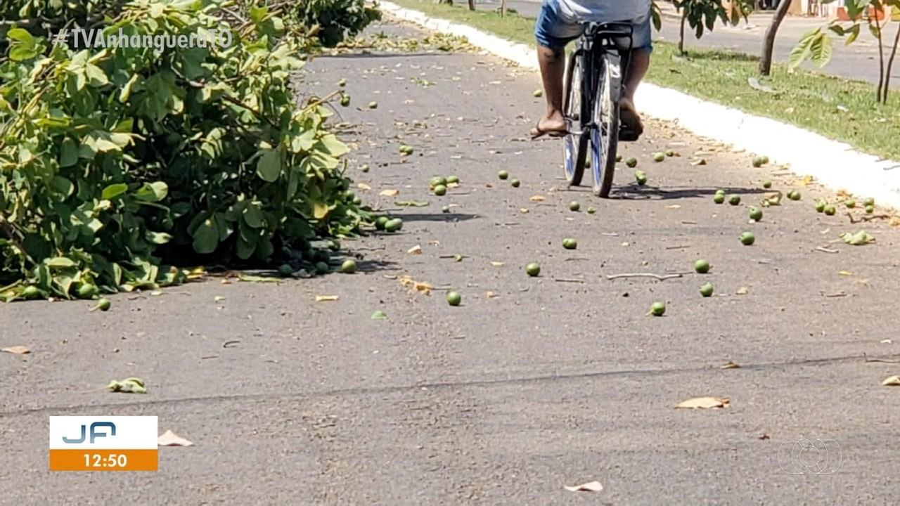 Vídeo mostra pequizeiros sendo derrubados em Pedro Afonso; árvore é protegida por lei - Notícias - Plantão Diário