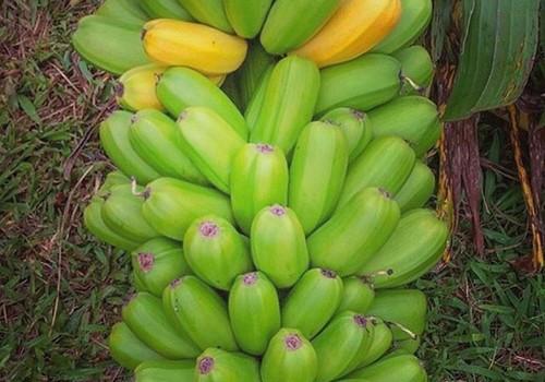 Plátano havaiano (Foto: Hipagriculture/Reprodução)