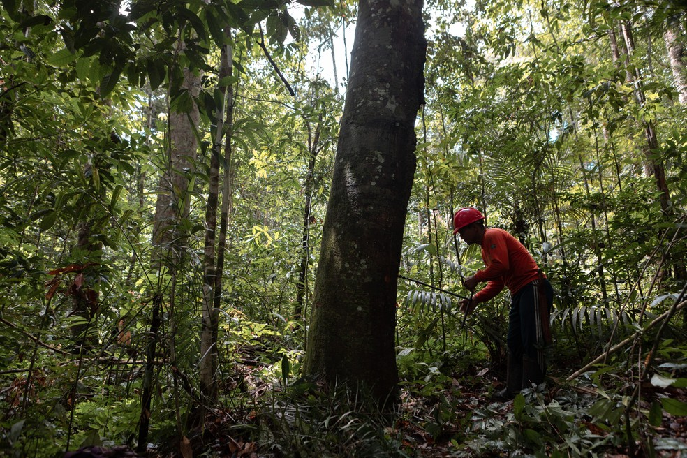 A extração do óleo decopaíba é feita de forma manual, utilizando uma ferramenta que fura a árvore através de movimentos circulares realizados pelo operador — Foto: Marcelo Brandt/G1