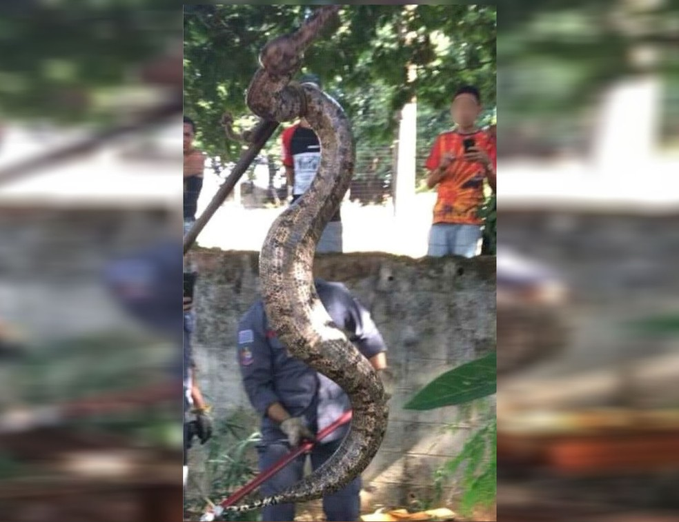 Jiboia capturada em Ilha Solteira tem dois metros, segundo o Corpo de Bombeiros (Foto: Corpo de Bombeiros/Divulgação)