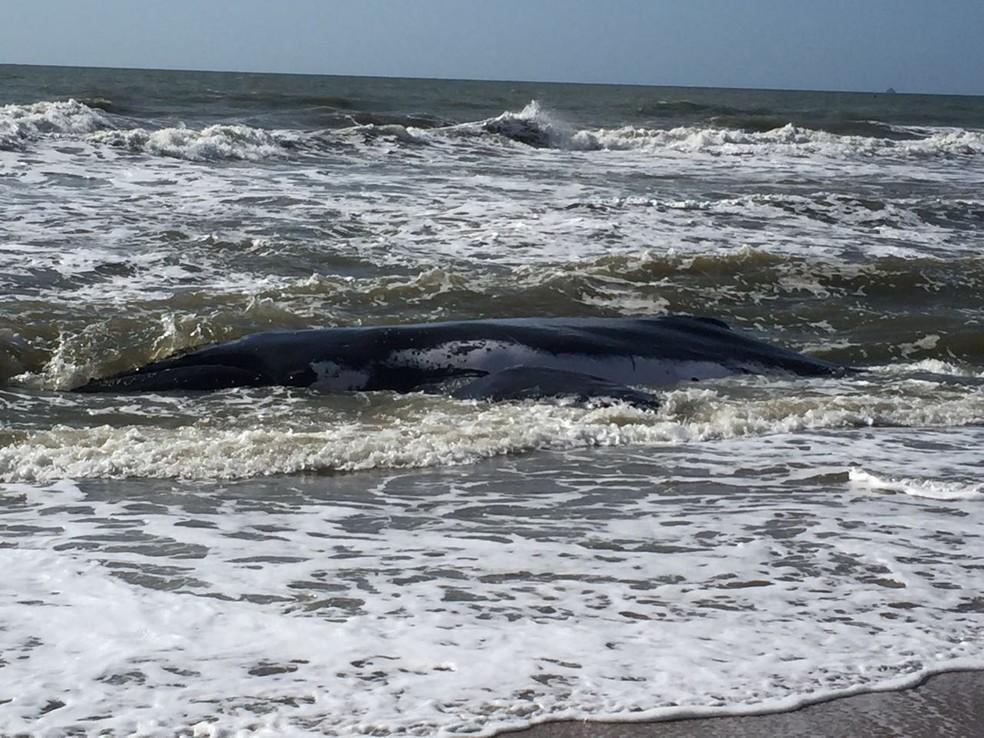 Baleia está encalhada desde segunda (Foto:  Kleber Pizzamiglio/NSC TV)
