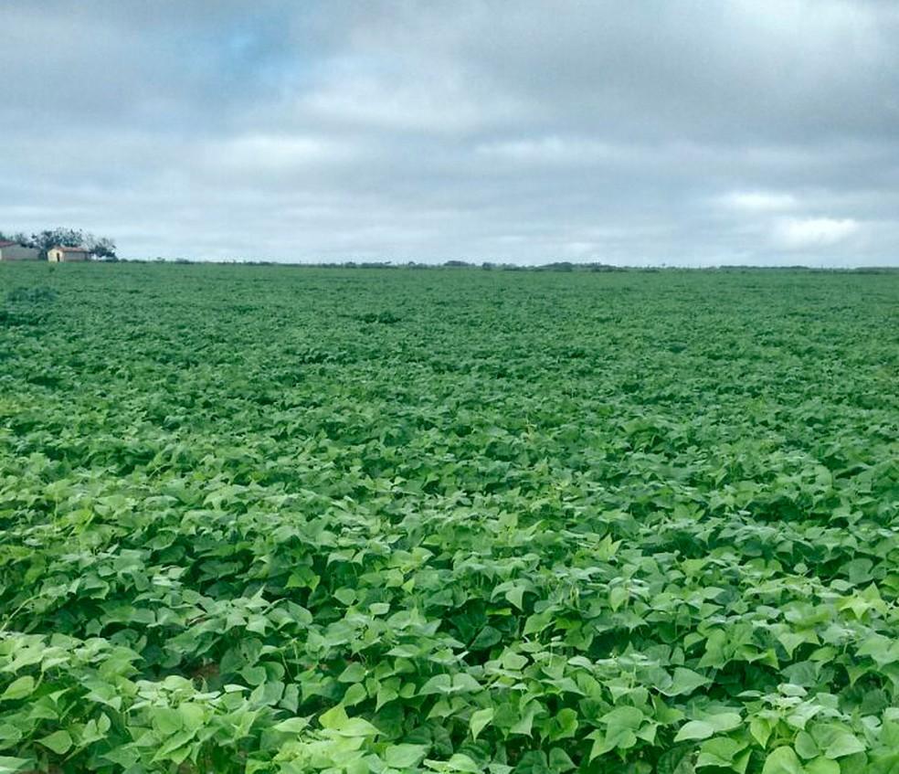 Colheita de feijão é prejudicada em Adustina por excesso de chuva (Foto: Roberto Santos/Arquivo pessoal)
