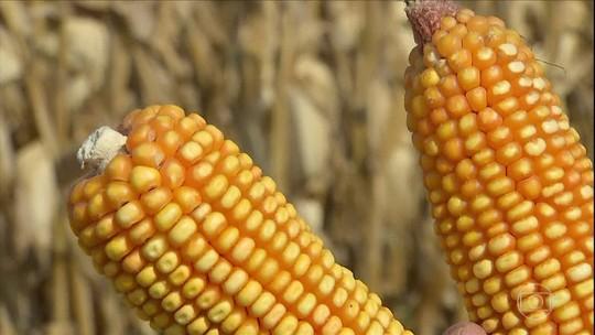 Preço do milho tem alta em MS